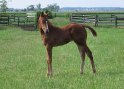 Later Tonight  - Thoroughbred Filly - Future Racehorse